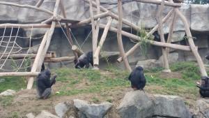 Eröffnung Aussenanlage Chimps im Walter Zoo Gossau