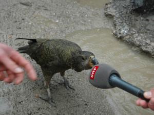 Reto Scherrer mit neugierigem Kea